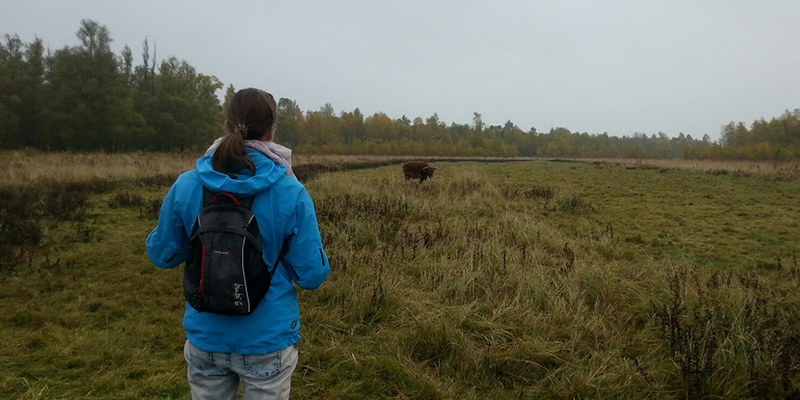 watching a highland cow